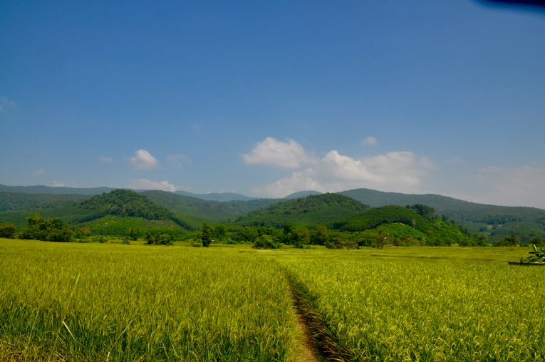 rice to harvest soon
