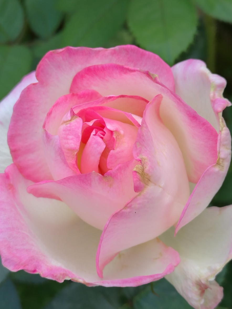 Roses from