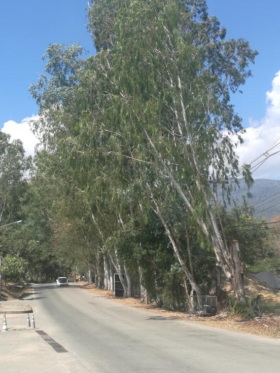 Thai gum trees