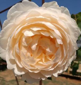 Nice colour rose